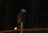 Owl sits on fence outside Denny Hall at night